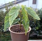 Begonia2_2