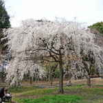 Shidarezakura